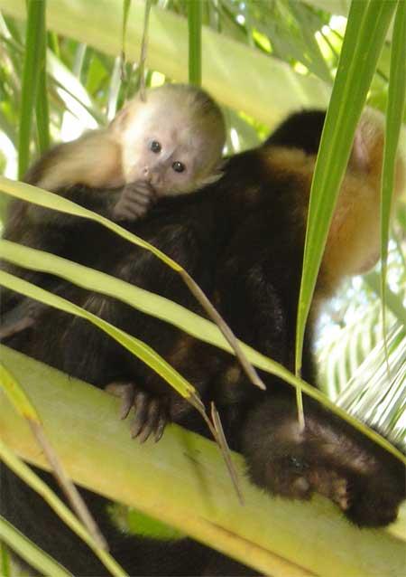 Monos en costa Rica