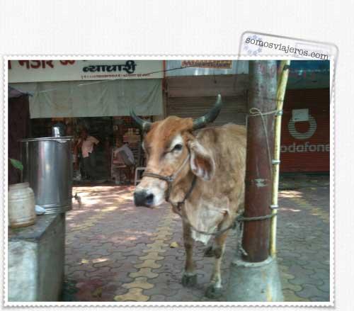 La vaca en la india