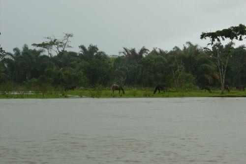 caballos en Tortuguero (Costa Rica)