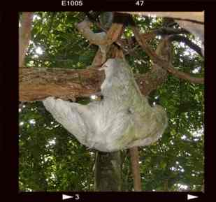 Perezoso moviéndose lentamente en un árbol de Manuel Antonio