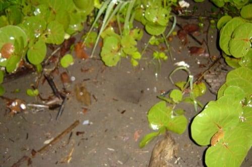 nido de tortugas en Tortuguero (Costa Rica)