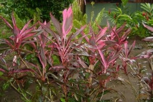 flores en Tortuguero (Costa Rica)