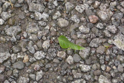 insecto hoja en Tortuguero (costa rica)