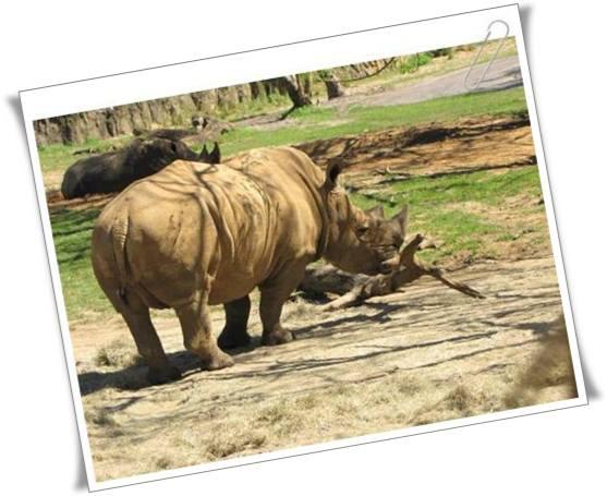 rinoceronte animal kingdom florida
