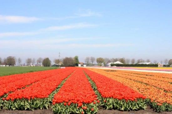 Entre campos de tulipanes en Holanda