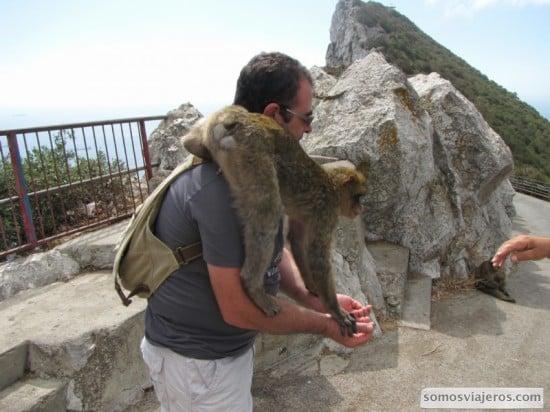Cuñao con mono gibraltareño