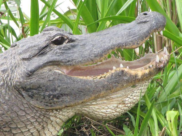 Impresionante Alligator