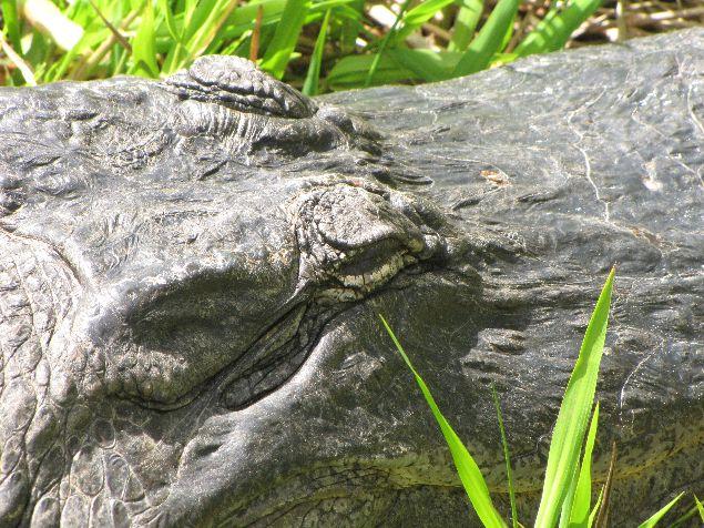 Alligator durmiendo, mejor no te fies