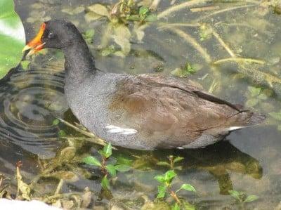 Fauna Floridiana