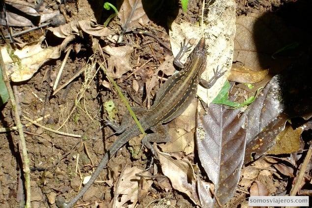 lagarto en arenal costa rica