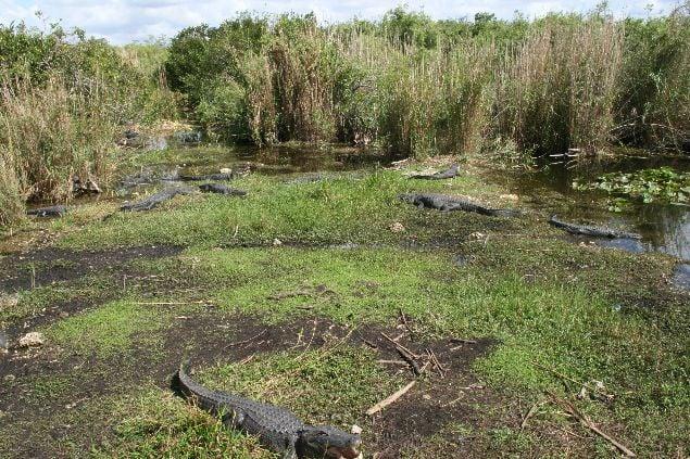 Unos cuantos Alligators esperando a que pasemos