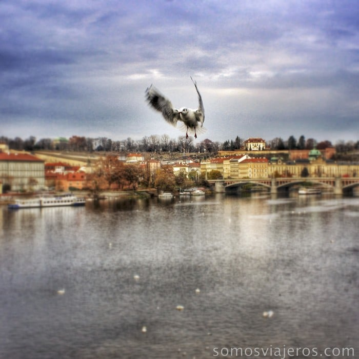 Gaviotas en el puente de Carlos en Praga