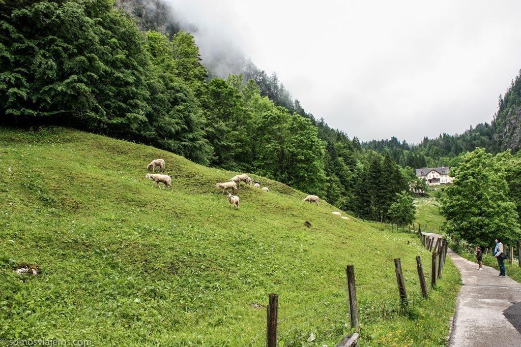 camino entre ovejas en Hallstatt