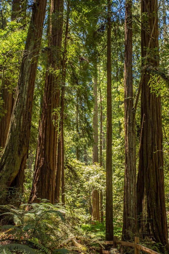 bosque de Secuoyas en San Francisco Muir Woods