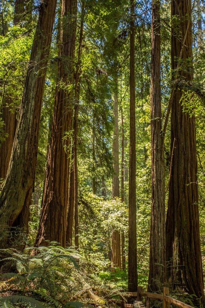 bosque de Secuoyas en San Francisco Muir Woods