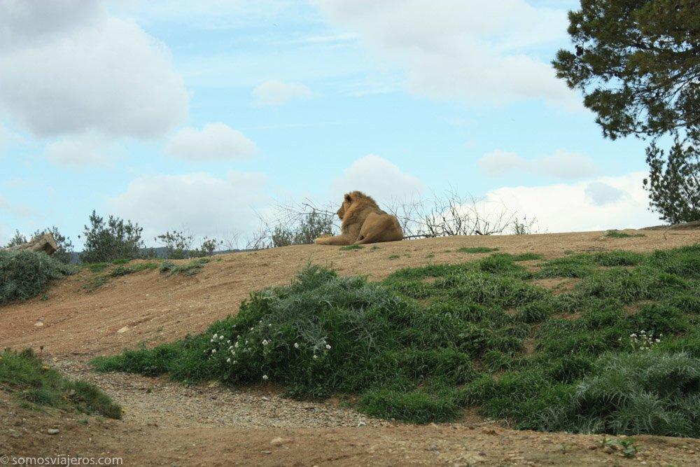 león en la reserva africana de Sigean