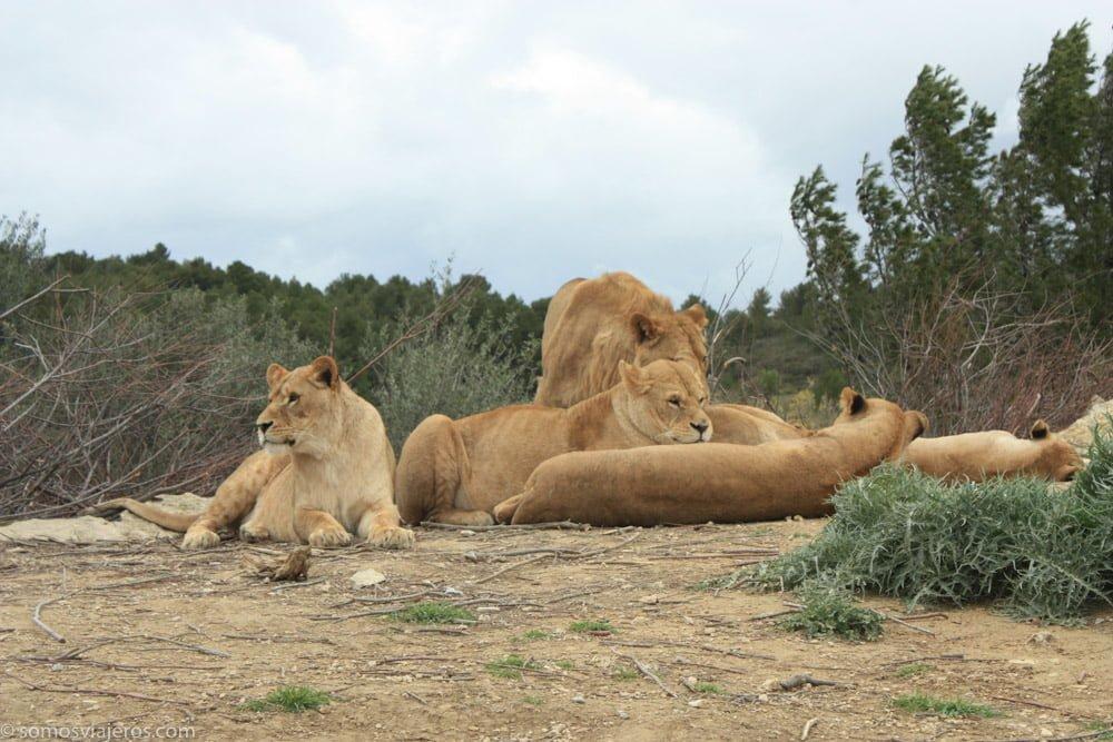 manada de leones en la reserva africana de Sigean