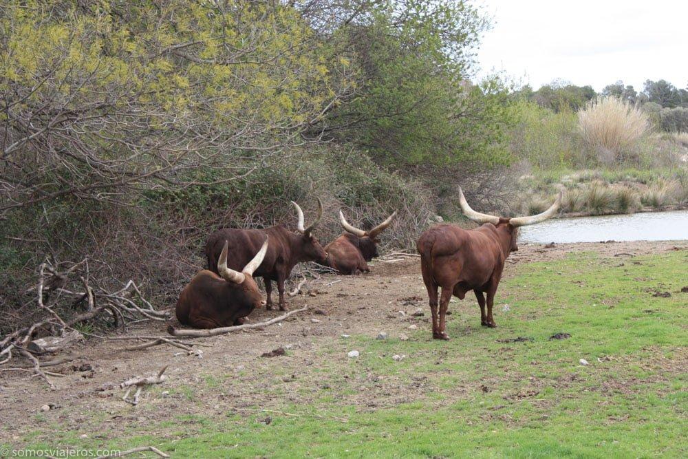 animales con grandes cuernos en la reserva africana de sigean
