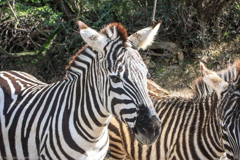 zebras en reserva africana de sigean