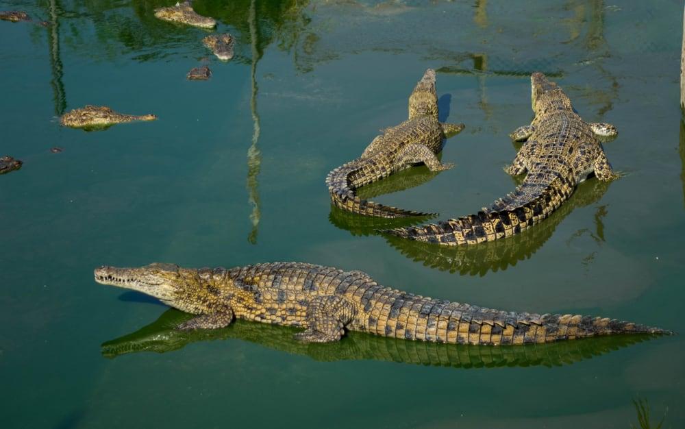cocodrilos mortales en Ramree