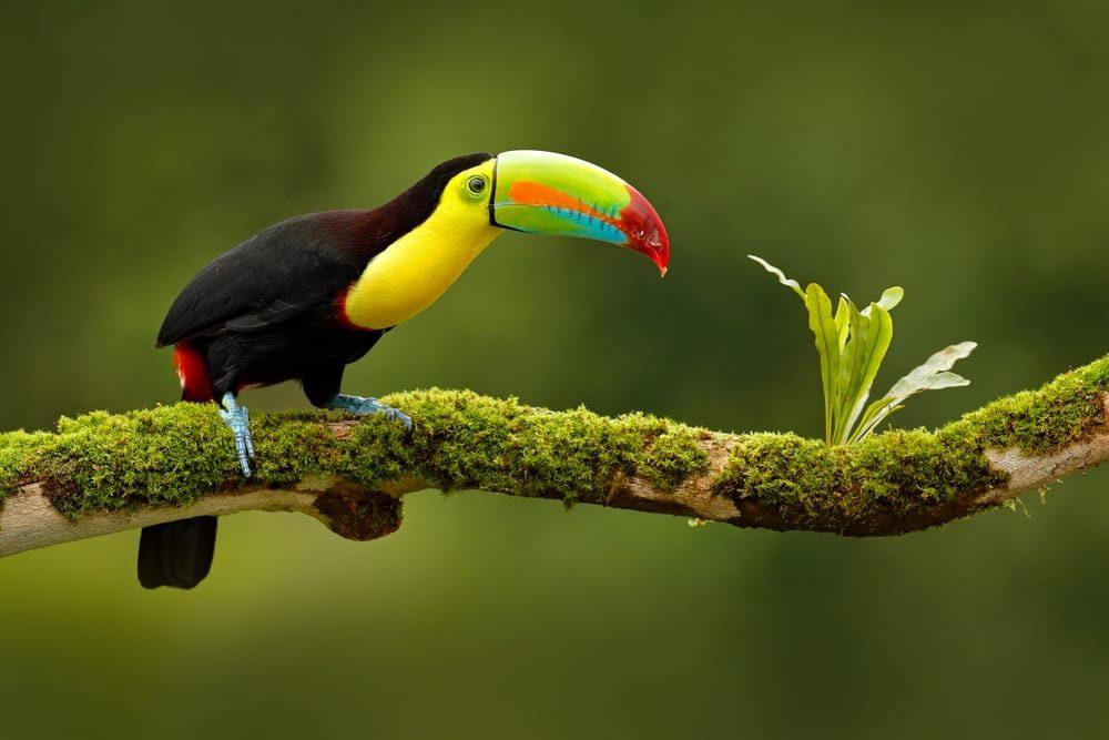 Un pájaro de colores vistosos en Costa Rica